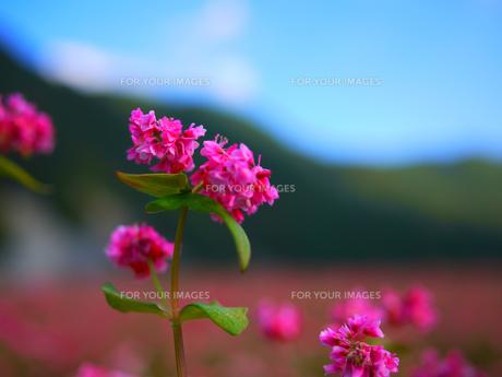 高峰ルビーの花1の素材 [FYI00407552]