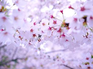 桜1の写真素材 [FYI00407591]
