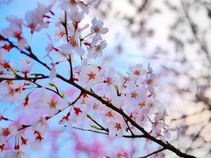 桜2の写真素材 [FYI00407592]