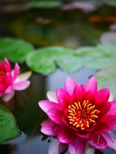 睡蓮の花1の写真素材 [FYI00407593]