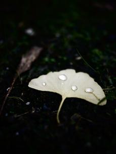 地面に落ちたイチョウの葉と水玉2の写真素材 [FYI00407645]