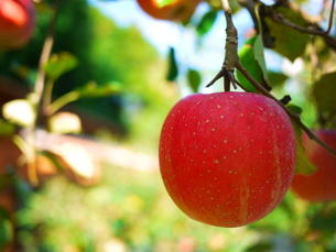 収穫前のりんごの素材 [FYI00407661]
