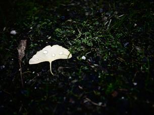 地面に落ちたイチョウの葉と水玉の素材 [FYI00407663]