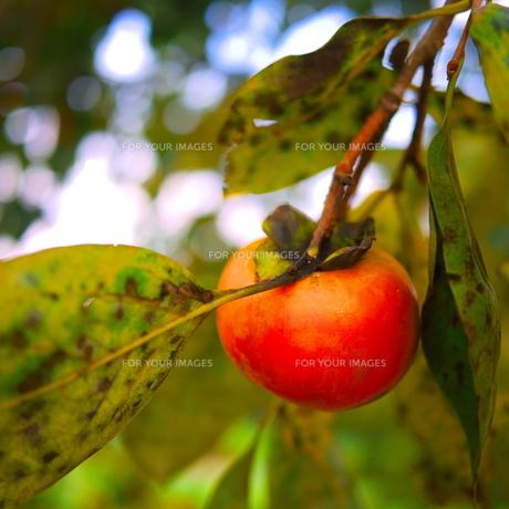 柿の実の素材 [FYI00407667]