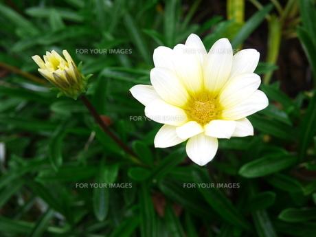ガザニアの花の素材 [FYI00407681]