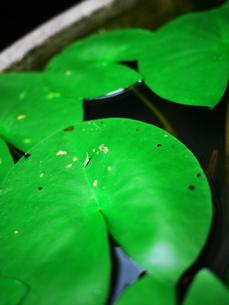 睡蓮の葉とバッタの写真素材 [FYI00407718]