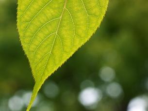 桜の葉の葉脈の写真素材 [FYI00407750]