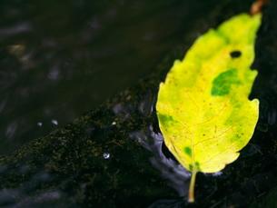 水に浮く落ち葉の素材 [FYI00407773]