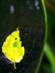水に浮く落ち葉の写真素材 [FYI00407787]