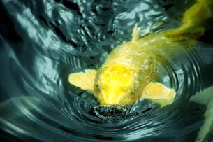金色の鯉の素材 [FYI00408018]