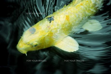 金色の鯉の素材 [FYI00408025]