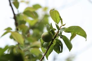 梅の実の写真素材 [FYI00408076]