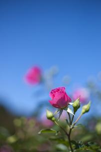 薔薇園の写真素材 [FYI00408104]