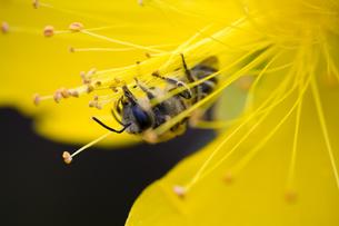 花粉を集めるミツバチの写真素材 [FYI00410775]
