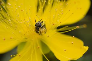 花粉を集めるミツバチの写真素材 [FYI00410776]