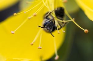 花粉を集めるミツバチの写真素材 [FYI00410794]