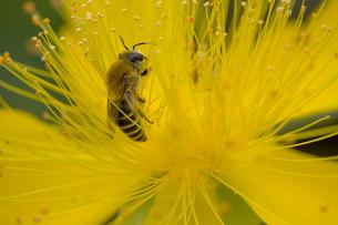 花粉を集めるミツバチの写真素材 [FYI00410797]