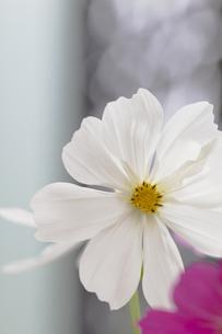 コスモスの花の写真素材 [FYI00410803]