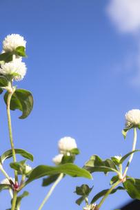 下から見上げる千日紅の花の写真素材 [FYI00410807]
