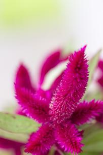 ガーデンキャンドル(ミニレッドウィング)の写真素材 [FYI00410810]