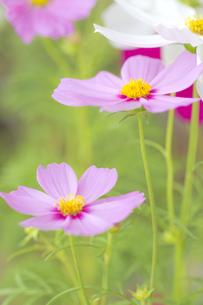 コスモスの花の写真素材 [FYI00410814]