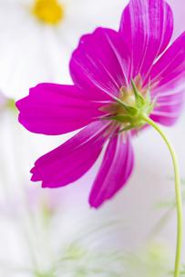 背景から見るコスモスの花の写真素材 [FYI00410815]