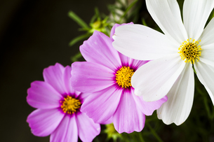 3連コスモスの花の写真素材 [FYI00410819]