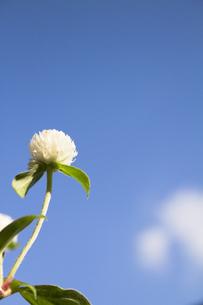 下から見上げる千日紅の花の写真素材 [FYI00410821]