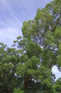 大木と青空の写真素材 [FYI00410830]