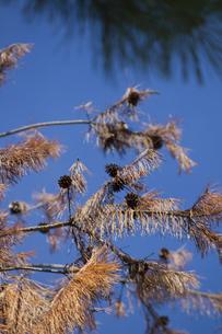 枝に付いた松ボックリの写真素材 [FYI00410862]