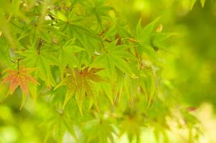 紅葉が始まった緑と赤のグラデーションもみじの写真素材 [FYI00410867]