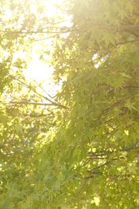 木々と木漏れ日の写真素材 [FYI00410876]