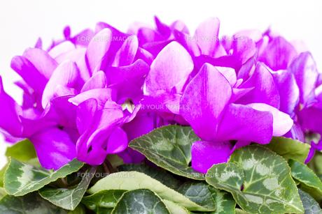 シクラメンの花の写真素材 [FYI00410925]