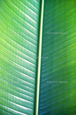 旅人の木(葉のアップ)の写真素材 [FYI00411592]