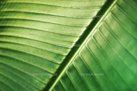 旅人の木(葉のアップ)の写真素材 [FYI00411593]