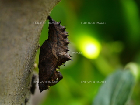 ツマグロヒョウモンのサナギの写真素材 [FYI00411765]