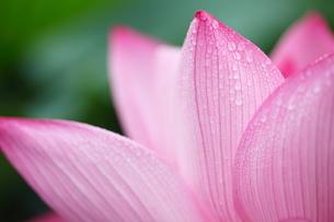 蓮花の写真素材 [FYI00411778]