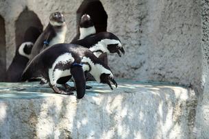 叫ぶペンギンの写真素材 [FYI00411797]