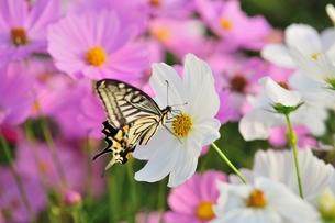 秋桜と揚羽蝶の写真素材 [FYI00411904]
