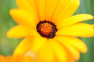 アフリカ金盞花の写真素材 [FYI00411908]