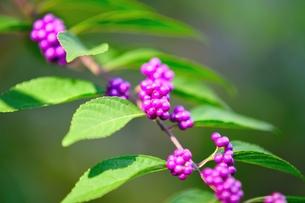 小紫の写真素材 [FYI00411923]