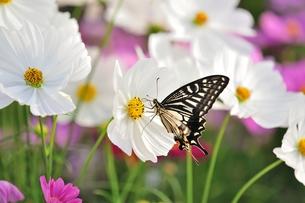 秋桜と揚羽蝶の写真素材 [FYI00411931]