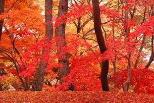 弘前公園の紅葉の写真素材 [FYI00411973]