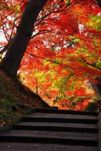 弘前公園の紅葉の写真素材 [FYI00411979]