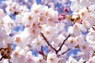 青空とソメイヨシノ桜のアップの写真の写真素材 [FYI00412130]