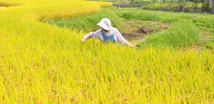 農業 稲刈りの写真の写真素材 [FYI00412144]