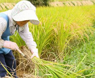 カマで稲刈りするジニア女性農業者の写真の写真素材 [FYI00412149]