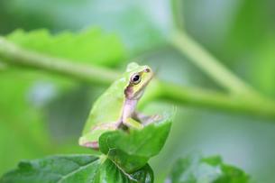 アジサイの葉の上で見つめるカエルの写真の写真素材 [FYI00412158]