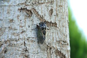 木に止まる真夏のクマゼミの写真の素材 [FYI00412161]