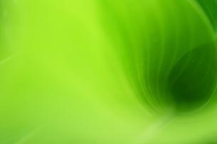 雨上がりのカンナの葉の写真の写真素材 [FYI00412169]